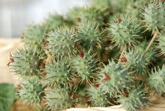 Rizinuspflanze Stockfoto