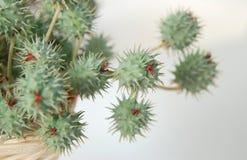 Rizinuspflanze Stockfotos