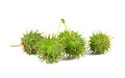 Rizinuspflanze, Rizinus auf weißem Hintergrund Lizenzfreie Stockfotografie