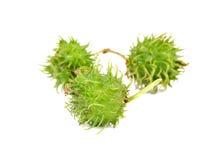 Rizinuspflanze, Rizinus auf weißem Hintergrund Lizenzfreies Stockfoto