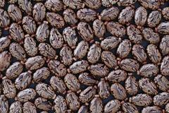 Rizinuspflanzen Ricinus communis - natürliches Konzept lizenzfreie stockbilder