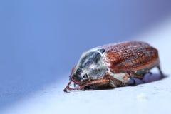 Rizotrogo, maybug Fotografie Stock Libere da Diritti