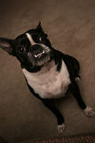 Rizzo. The boston terrier royalty free stock photography