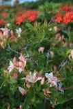 rökiga stora berg för azaleas Royaltyfria Foton