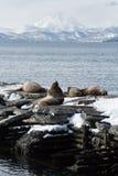 RåkkoloniSteller sjölejon eller nordlig sjölejon Kamchatka Avacha fjärd Arkivbilder