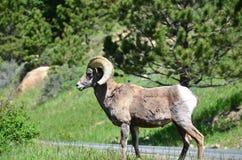 RMNP-μεγάλα πρόβατα κέρατων Στοκ φωτογραφίες με δικαίωμα ελεύθερης χρήσης