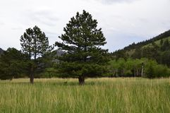RMNP-Two Pines in a Meadow Royalty Free Stock Photo