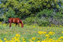 Rżnięty liść Groundsel Jaskrawy Żółty Teksas Wildf (Packera tampicana) Zdjęcia Royalty Free