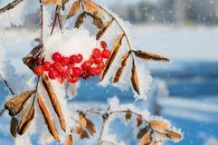 Rönn i snön Arkivbild