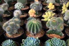 Różnorodny kaktus Zdjęcie Stock