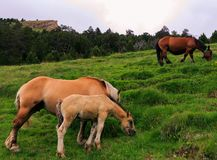 Wild horses. RnPhoto of wild horses in the mountains separating Spain and Andorra in the Catalan Pyrenees royalty free stock photos