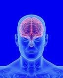 Röntgenstraalaftasten van menselijk lichaam met zichtbare hersenen Stock Foto