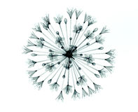 Röntgenstraalbeeld van een bloem op wit, de Klok Agapanthus Stock Fotografie