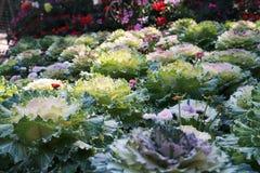 Roślina dekoracyjna kapusta z zielonymi liśćmi obraz royalty free