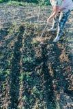 Roślina w wiośnie, locha grochy w studniach, zakopujący ziarno, zasadza warzywa w wiośnie fotografia stock
