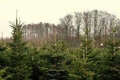 Rośliny pepiniera - choinki zdjęcie royalty free