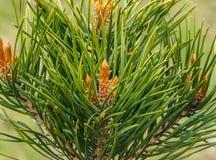 Rośliien igły drzewne Obraz Royalty Free