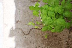 Roślina basil zdjęcia stock