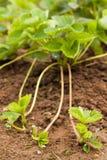 Roślina biegacze truskawka R W ogródzie zdjęcie royalty free