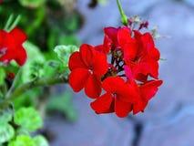 Roślina bodziszka czerwony szczegół kwiaty piękni zdjęcia royalty free