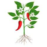 Roślina chili pieprze na białym tle Obrazy Royalty Free