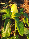 Roślina dorośnięcie pieprz obraz royalty free