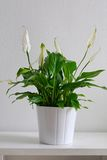 roślina garnek Fotografia Stock
