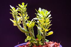 Roślina garnki szczura ogonu kaktus fotografia stock