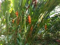 roślina, heliconia, roślinność, flora, liść, kwiat, trawy rodzina Obrazy Stock