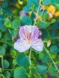 Roślina jest najbardziej znany dla jadalnych kwiatów pączków kaparów bea zdjęcie royalty free