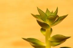Roślina kaktus opuszcza zakończenie Zdjęcia Royalty Free