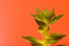 Roślina kaktus opuszcza zakończenie Obraz Stock
