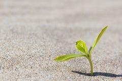 Roślina kiełkuje w pustyni Kiełkowa pustynia Zdjęcie Stock