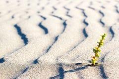 Roślina kiełkuje w pustyni w Sahara Flanca w pustyni Zdjęcia Stock