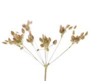 Roślina kmin obrazy stock