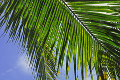 Roślina - kokosowy liść Obrazy Stock