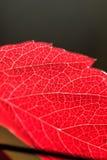 Roślina liść żyły Zdjęcie Stock