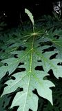 Roślina liścia zieleni melonowa liść fotografia royalty free