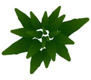 Roślina liście Obrazy Stock