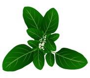Roślina liście Obraz Royalty Free