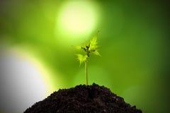 Roślina młody krótkopęd Obrazy Stock