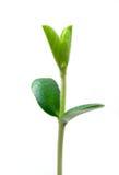 roślina mała zdjęcia royalty free