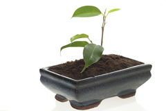 roślina mały biel zdjęcie royalty free