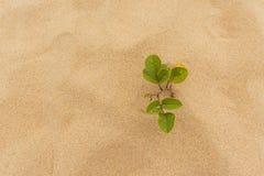 Roślina na plaży Zdjęcie Stock