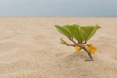 Roślina na plaży Obrazy Royalty Free