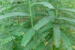 Roślina Nucić Ptasiego Sesban Agasta Sesbania grandiflora Agasta Sesban Zdjęcie Royalty Free