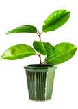 Roślina odizolowywająca na białym tle obrazy stock