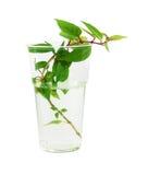Roślina odizolowywająca na białym tle Zdjęcie Royalty Free
