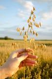 Roślina owsy w ręce Fotografia Royalty Free
