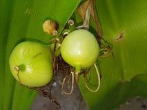 Roślina pączki Zdjęcie Royalty Free